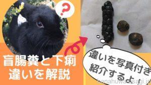 《写真でわかる》うさぎ盲腸糞と下痢(軟便)の違い~要注意ウンチの種類をチェックしよう!