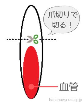 うさぎの爪と血管の図(爪切り位置の解説図)
