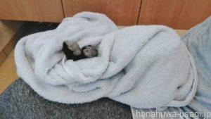 うさぎをタオルでしっかりと包んで仰向け抱っこする