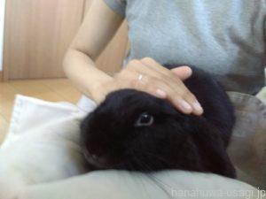 まいの家ウサギ「はなちゃん」