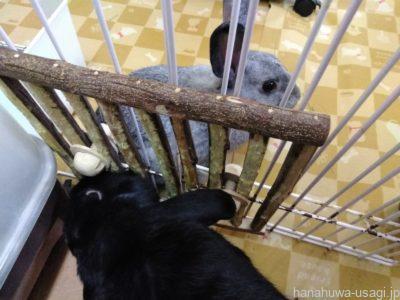 うさぎ多頭飼いで縄張り意識が強くなっていて噛む