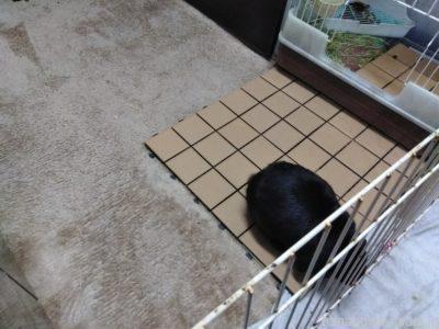 うさぎ部屋んぽ床材《絨毯・カーペット》のメリットとデメリット