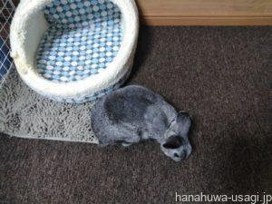 うさぎの部屋んぽに最適な床材の選び方とは?