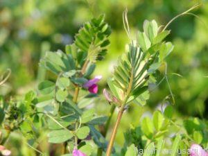 うさぎが食べられる野草「カラスノエンドウ」