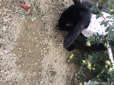 うさぎが食べ残し散らかした牧草をホリホリ遊び場に再利用する