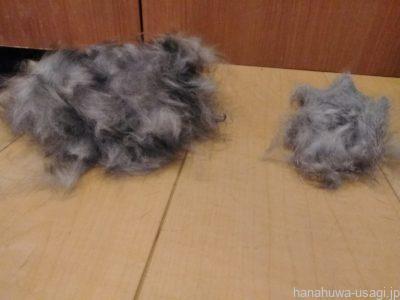 長毛種うさぎと毛量多いうさぎは繋がったウンチ(数珠弁)が出やすい!