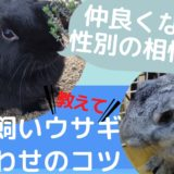 うさぎ多頭飼い【顔合わせから仲良くなる】までの記録!2匹飼い成功のコツを教えます