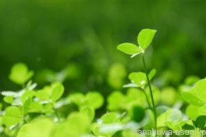 《栄養補給に最適》マメ科牧草の種類と特徴