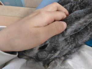 耳掃除するうさぎの頭を固定する