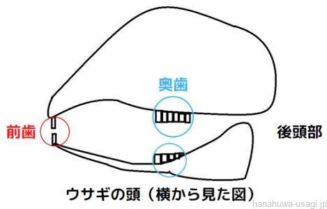 うさぎ歯の構造図