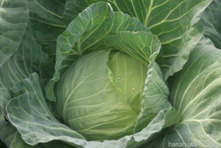 甲状腺腫誘発物質を含む野菜