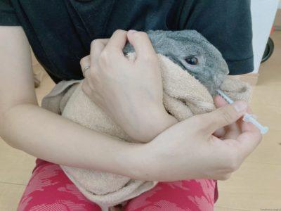 うさぎを膝の上に乗せて横抱きで強制給餌する様子