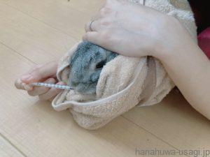 うさぎを両腕の間に挟んで強制給餌する写真