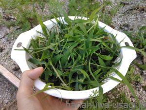 イネ科雑草は生牧草の代わりにできる