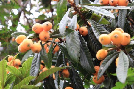 うさぎが食べられる木の葉(ビワの葉)