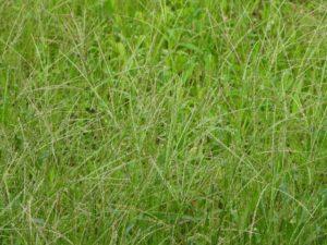うさぎが食べられるイネ科雑草(メヒシバ)
