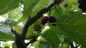 うさぎが食べられる木の葉(クワの葉)