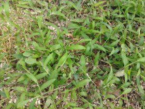 うさぎが食べられるイネ科雑草「ギョウギシバ」