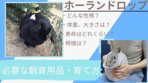 【飼ってわかった】ホーランドロップの性格・寿命・体重・値段とは?垂れ耳うさぎの育て方・飼育の注意点を解説